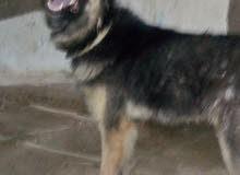 كلب جيرمن سنه وثمن شهور للبدل الكلب لسه متجوزش