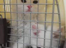 قطط امريكيه عمر شهر  للبيع