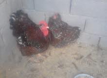 دجاج كلاي زهري