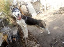 كلب هاسكي للبيع او مراوس
