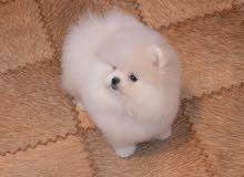 كلب بومرينيان للبيع pomeranian puppy for sale
