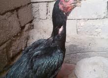 دجاجة هندي للبيع