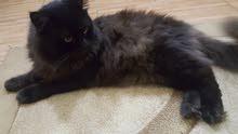 قط شيرازي شعر كثيف