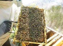 نحال. وخبرة ف تربية ورعاية النحل