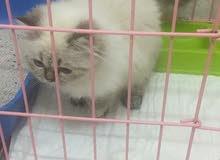 هملايا قطط للبيع