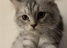 قطط شيرازي للبيع عدد 2 ذكر و أنثى