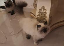 للبيع مجموعه من القطط هملايا جوكليت بار