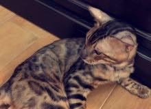 قطط البنغال