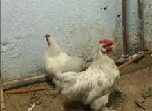دجاج زينه