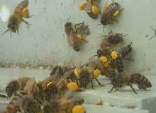 عسل طبيعي 100%من جبال الضفه(مناحل ارض الطيبات)