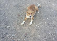 كلب رائع وجميل للبيع  Lovely Dog