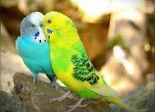 عصافير عشاق