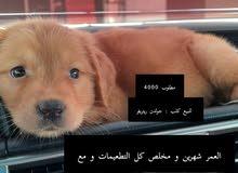 كلب جولدن ريتريفر  golden retriever