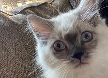 قط هملايا للبيع - Himalaya cat for sale