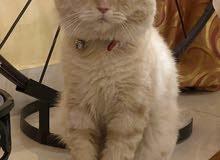 للتبني british shorthair male for adoption