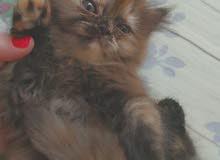 قطه شيرازي انثى نظيفه  ولعوبه والصحه ممتازه  متعوده عالحمام العمر شهر ونصف