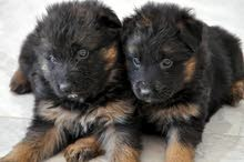 femelle et  male berger allemand a vendre poil long de race pure