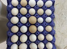 للبيع بيض تجميع يومي