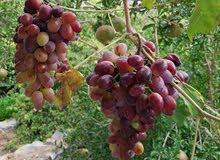 مشتل الغامدي للرمان واللوز والخوخ والعنب وجميع الشتلاات