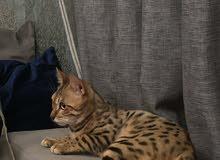 قط  بنجل مميز اللون  بيور ( ذكر )