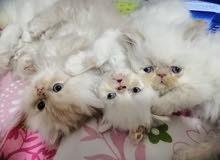 قطط شانشيلا عمر شهرين للبيع