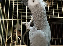 African grey parrot part pf the family
