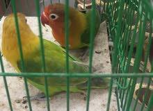 طيور الحب فيشر