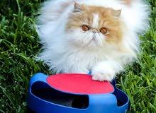 مطلوب قطة هملاياء بيكي فيس انثى