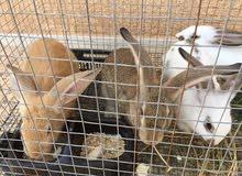 أرانب ألمانية للبيع