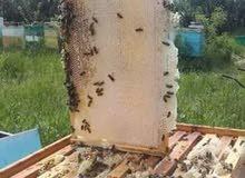 لي اي سؤال في المجال النحل