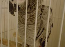 Casco parrot very friendly and supper talkative