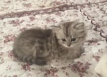 قطط شانشيلا شيرازي بيور