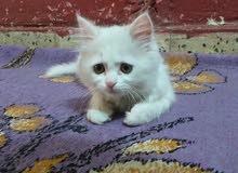 قطه شيرازي عمر شهرين