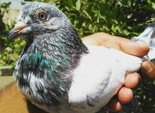 حمام باكستاني جولدن ثلاث طيور  20 ريال
