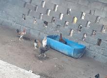 دجاج جاهزات للذح