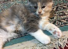 قطة شيرازي مون فيس