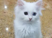 قطه فارسيه انثي نوع تراكش العمر 4 شهور