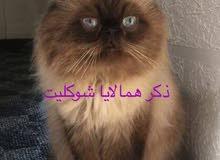 d3a68b395 موقع #1 لبيع القطط : قطط همالايا للبيع : شيرازي : افضل الانواع ...