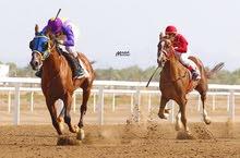 حصان سباق عربي اصيل