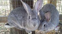 مطلوب ارنب انثى هولنديه
