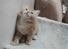 قطة صغيرة شيرازي مجموعة قطط  كتن