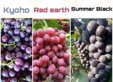 شتلات العنب ذات الإنتاج الوفير والطعم الذيذ بدون بذور