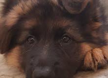 كلب مفقود ف العين الفوعة
