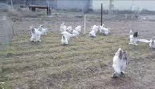 طبقه بيض دجاج ابراهما كولمبي عملاق للبيع