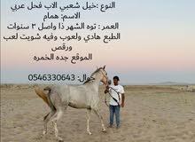 خيل شعبي الاب عربي حسب صاحبه الاول