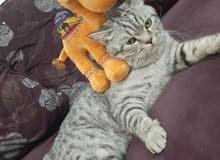 قط ذكر سكوتش ستريت العمر سنة ونصف للبيع - For sale Scottish Strait male cat 1.5 years