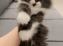 قط جميل جدا شانشيلا هيمالايا