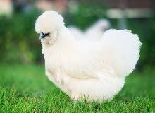 للبيع دجاج السلكي القطني ذو مستوى عالي