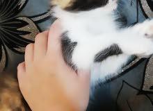 قطط للبيع العمر 3 اشهر