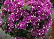 مشتل سليمان لنبات الزينة ومستلزمات الزراعة